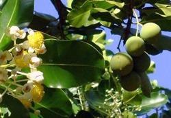 ZSK Naturalny olej tamanu, 15 ml